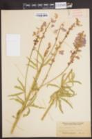 Image of Sidalcea hendersonii