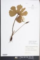 Sanguinaria canadensis image