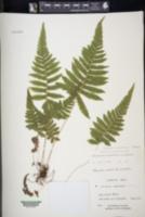 Christella parasitica image