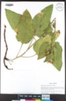 Image of Wyethia invenusta