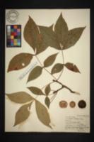 Image of Hicoria ovalis