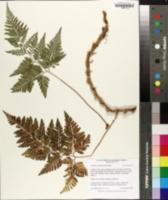 Davallia trichomanoides image