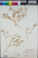 Tidestromia lanuginosa image