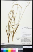 Paspalum setaceum var. longepedunculatum image
