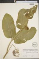 Asclepias syriaca var. kansana image
