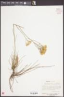 Bigelowia nuttallii image