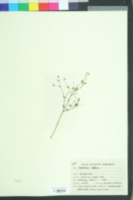 Image of Boerhavia diffusa