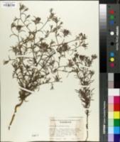 Image of Cordylanthus capitatus