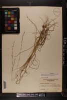 Aristida purpurascens image