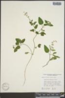 Scutellaria saxatilis image