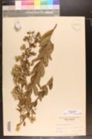 Solidago petiolaris var. petiolaris image