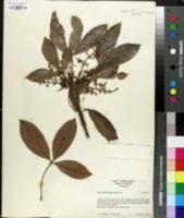 Image of Hevea benthamiana