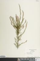 Image of Calluna vulgaris
