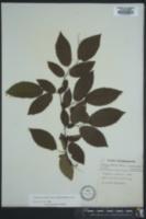 Carpinus caroliniana subsp. virginiana image