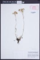 Achillea clavennae image