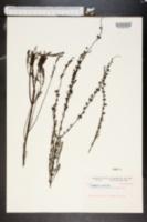 Image of Agalinis spiciflora