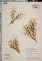 Stenogonum salsuginosum image