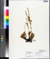 Image of Artemisia minuta