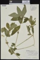 Ruellia strepens image