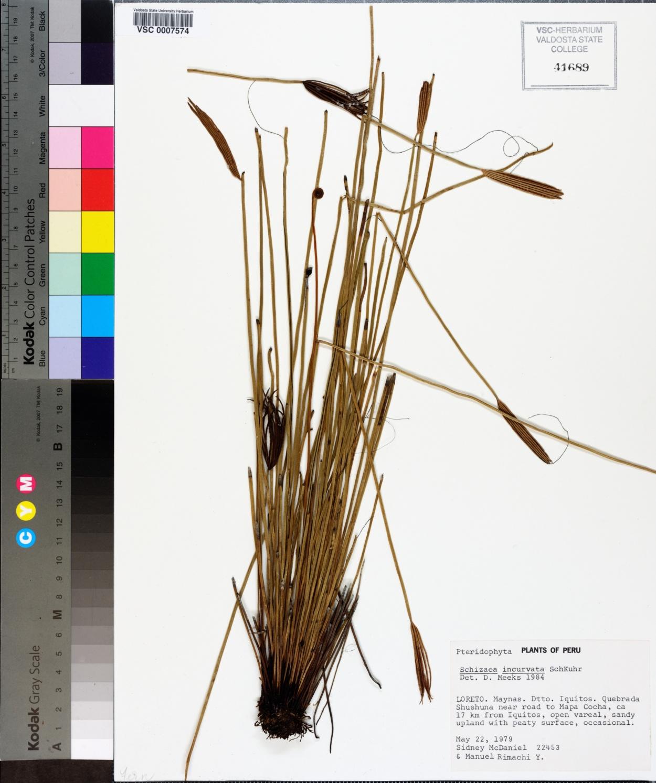 Schizaea incurvata image