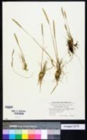 Image of Koeleria glauca