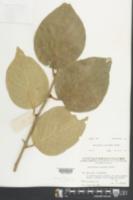 Image of Actinidia eriantha