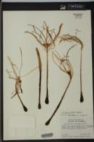 Image of Hymenocallis keyensis