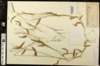 Image of Panicum adspersum