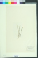 Image of Sabulina tenuifolia