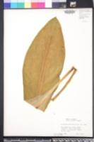 Lysichiton americanus image