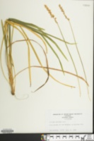 Image of Liriope spicata