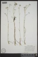 Ptilimnium fluviatile image