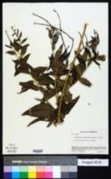 Image of Onosmodium subsetosum