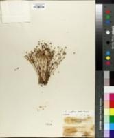 Arenaria brevifolia image