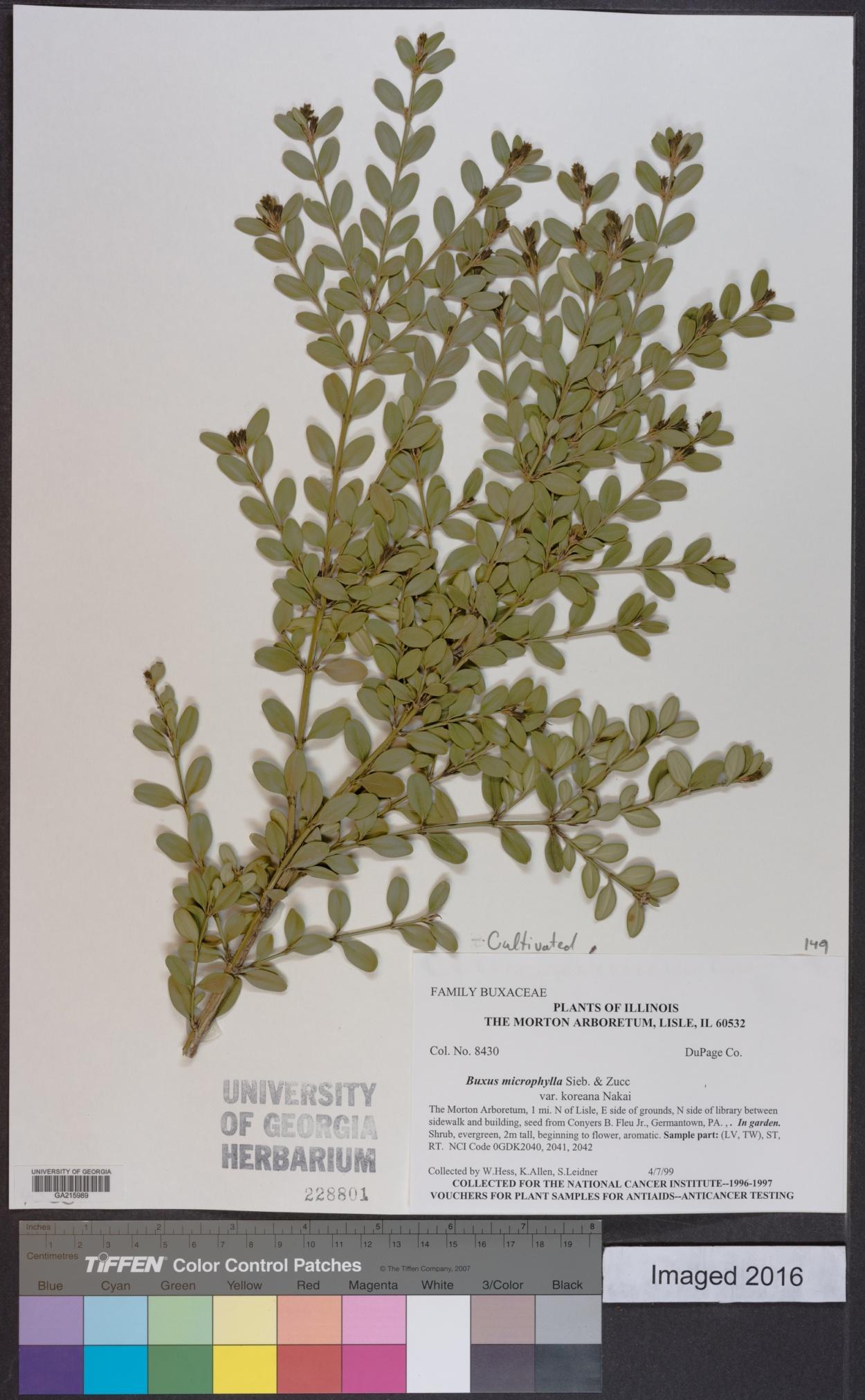Buxus sinica var. insularis image