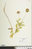 Image of Scabiosa stellata