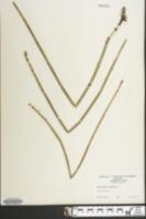 Equisetum hyemale image