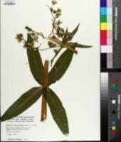 Frasera caroliniensis image