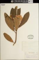 Rhododendron californicum image