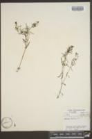 Houstonia tenuifolia image