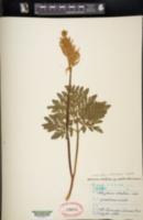 Image of Sceptridium robustum