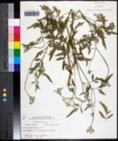 Torilis japonica image