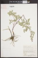 Image of Thalictrum sparsiflorum
