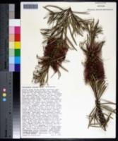 Callistemon rigidus image