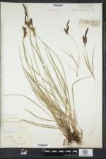 Carex nigra image