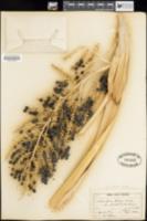 Image of Washingtonia robusta