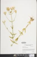 Sabatia quadrangula image