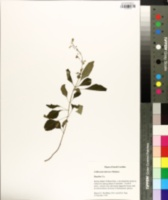 Collinsonia tuberosa image