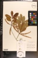 Cyrilla racemiflora image