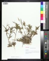 Image of Panicum brodiei